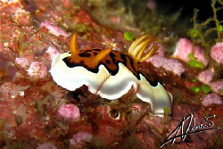 Tiger Nudi... Similan Island n.4, Canon G9 by Adriano Trapani 